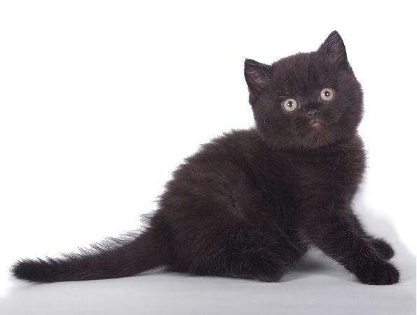 Британський кошеня чорного забарвлення
