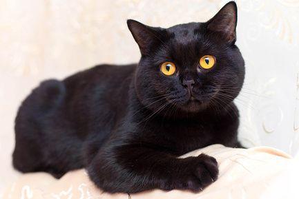 Чорне забарвлення британської кішки