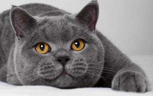Британська короткошерста блакитна кішка фото, британська короткошерста кішка опис породи