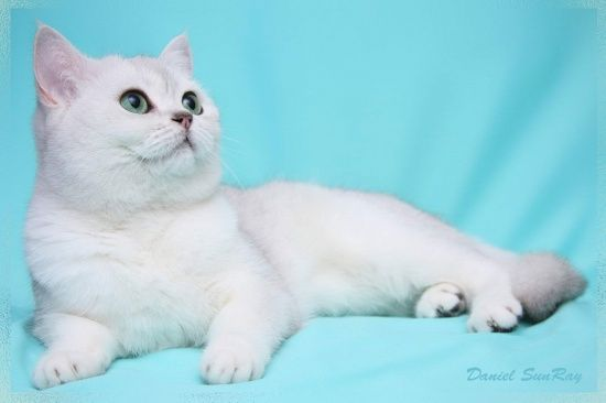 Британська кішка забарвлення шиншила фото, британська срібляста шиншила фото