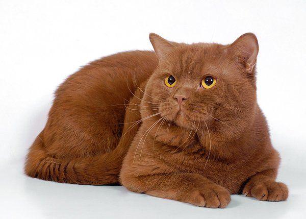Британська кішка шоколадного окраса фото