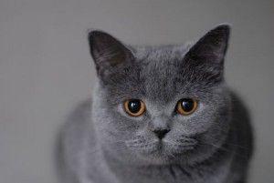 Британські кішки. Історія породи