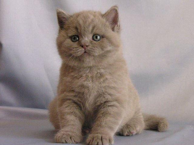 Кошеня з бузковим відтінком шерсті