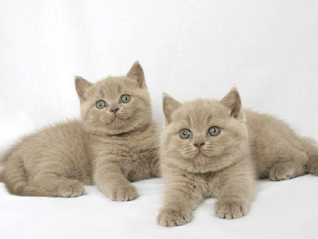 Кошенята породи британець лілового забарвлення