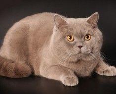 Британський кіт з лавандовим відтінком
