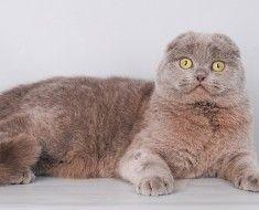 Дорослий кіт породи ліловий британець