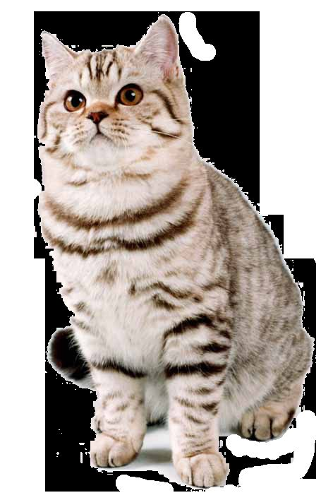 Віскас британські кішки