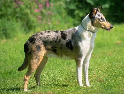 Британські породи собак