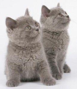 Британський кошеня, кого вибрати кота або кішечку