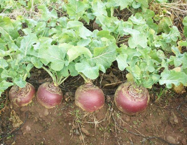 Бруква вирощування і догляд