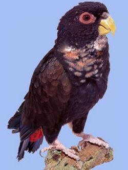 Бронзовокрилий красногузий або глянцевідной попугайpionus chalcopterus