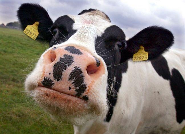 Корівки-годувальниці: кращі породи корів з високою молочною продуктивністю