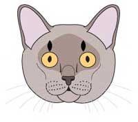 Бурманська порода кішок. Стандарт породи і критерії оцінки.