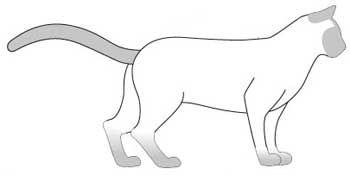 Бурманська порода кішок. тіло