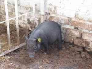 Чи бувають випадки коли вислобрюхая свиня не приходить в охоту