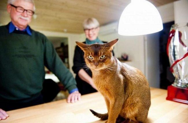 Негус, кіт - переможець World Cat Show 2011. Найкрасивіший кіт у світі