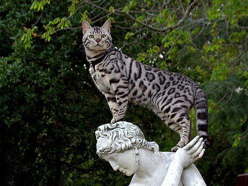 Ашера - гібридна і одна з найдорожчих порід кішок світу