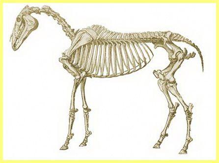 Частини тіла коня назви