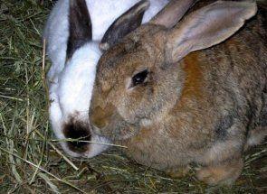 На що хворіють кролики: скарбничка знань початківця кролівника