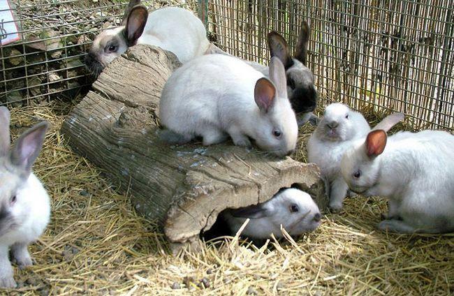 Кроленята, поміщені в загін