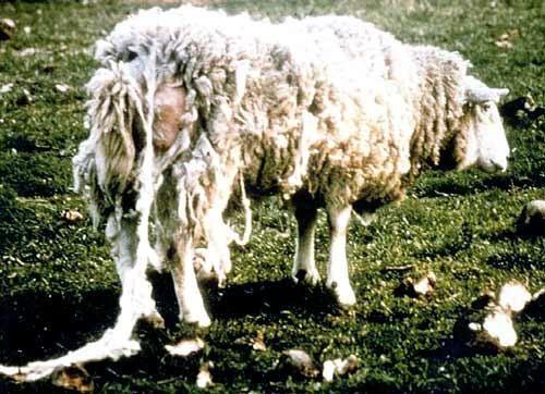 Вівця з псороптоз