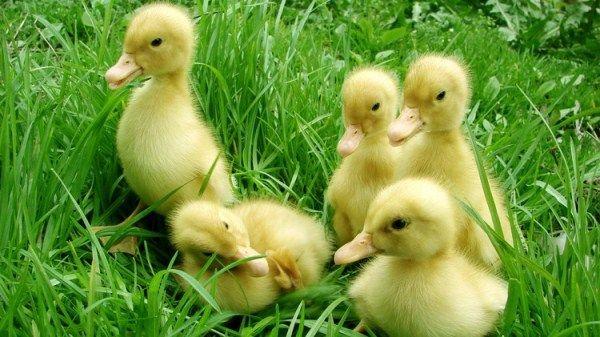 Каченята в траві