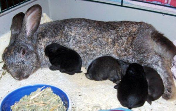 Чим і як годувати кроленят