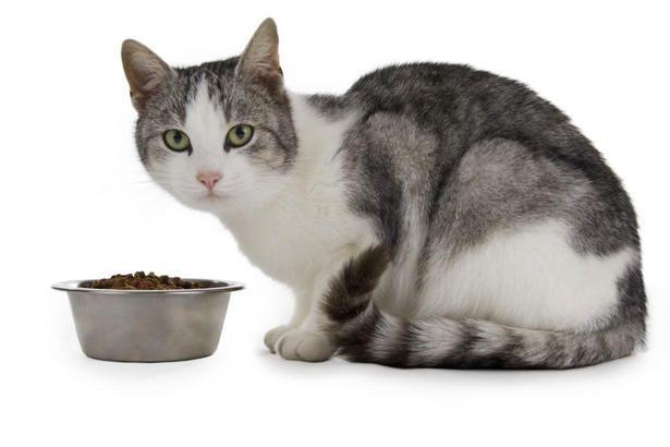 Харчування вагітної кішки