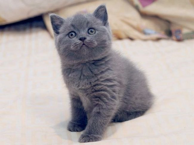 Чим годувати британського кошеня