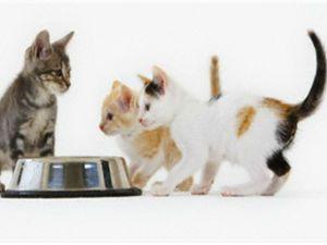 годування кошеня