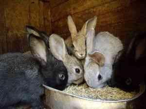 чим годувати місячних кроликів ...