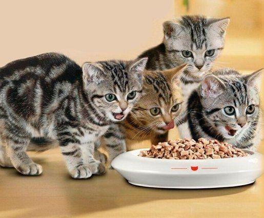 Чим годувати шотландського кошеняти