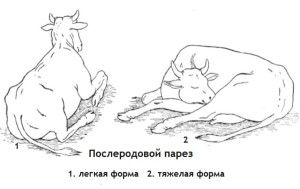 Чим може захворіти корова після отелення?