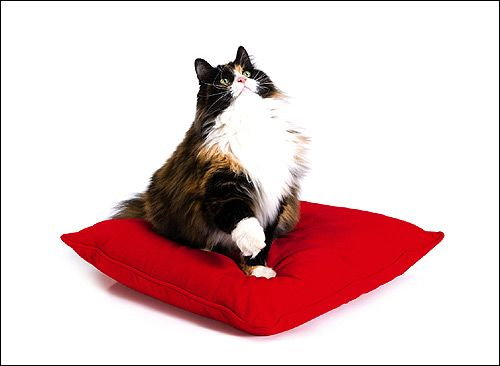 Персидська кішка. Фото, фотографія картинка тварини