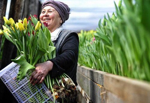 Вирощування тюльпанів до свят для продажу