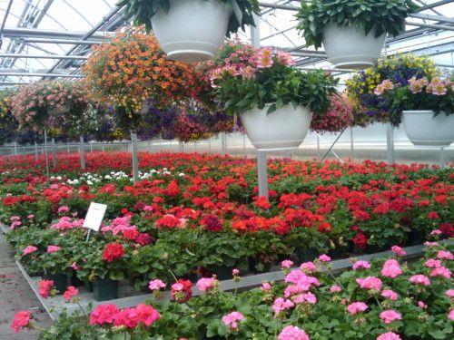 Вирощування кімнатних квітів на продаж