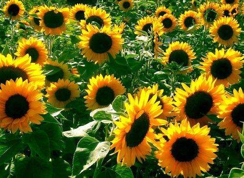 Вирощування соняшнику на продаж