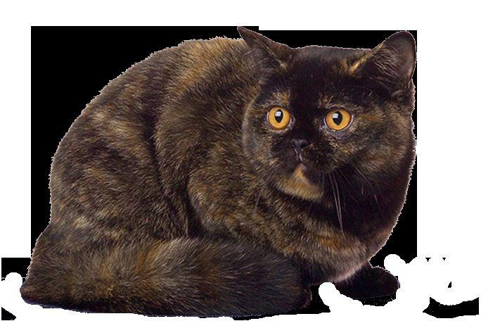 Черепахові забарвлення британської кішки
