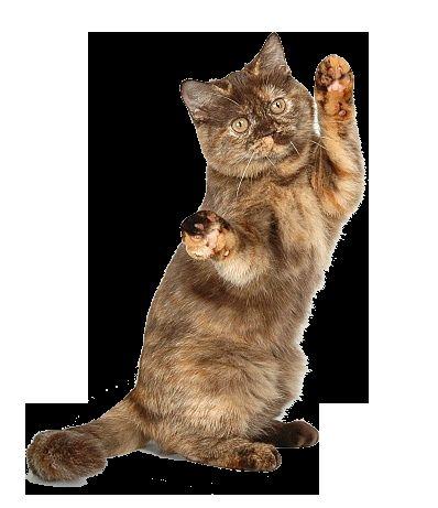 Черепаховий забарвлення британської кішки