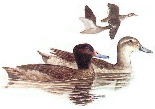 Чорноголова качка - зовнішній вигляд самця і самки