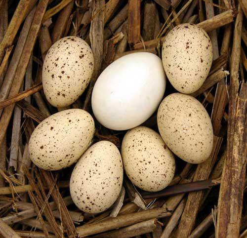 Яйце чорноголової качки з яйцями іншої птиці