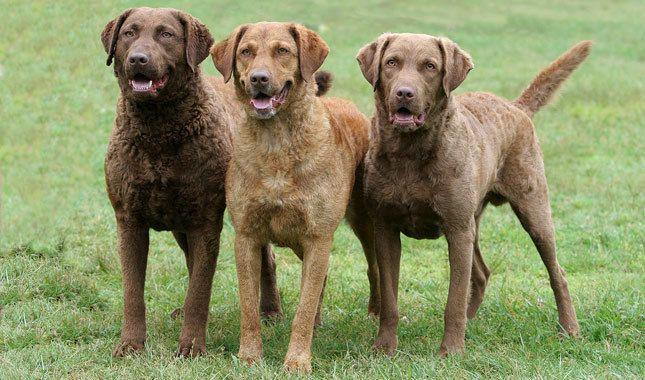 Три представника породи Чесапік Бей