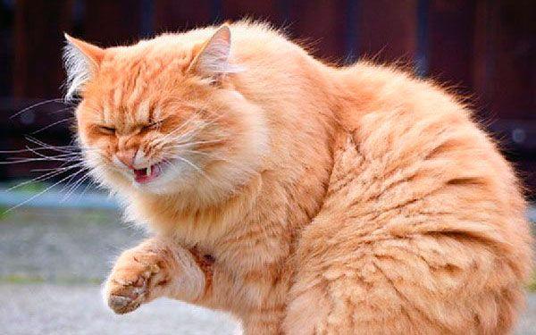 Чхає домашній кіт: лікуємо правильно