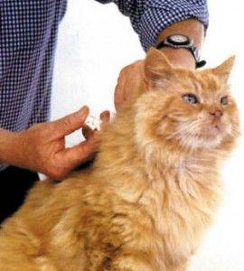 Чіпування кішок