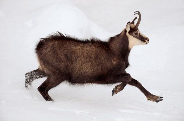 Надзвичайно плодовиті і невибагливі кози альпійські