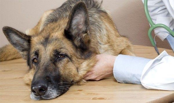 Німецька вівчарка у ветеринара