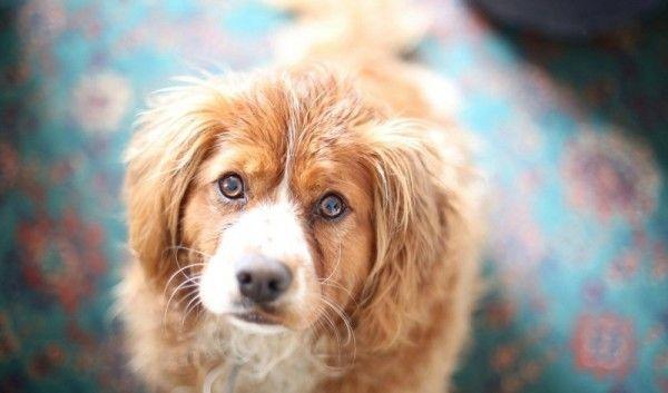 Рудий пес дивиться в камеру