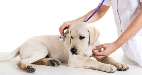 Щеня Лабрадора на прийомі у ветеринара