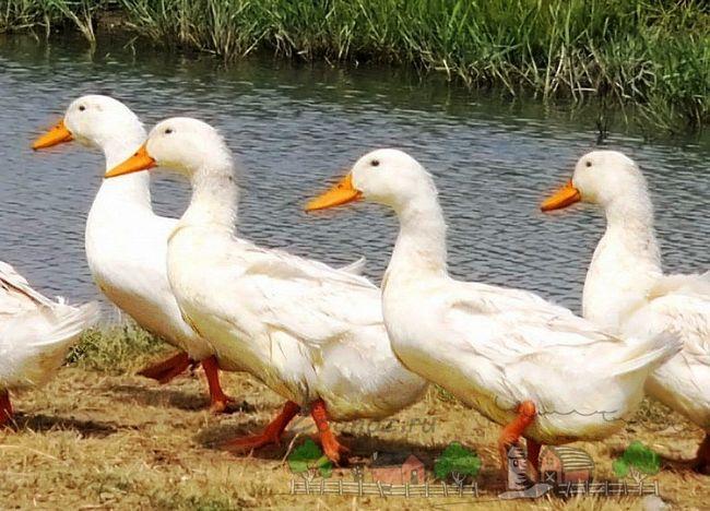Що робити, якщо качки вищипують пір`я?