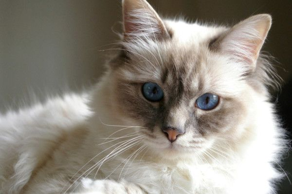 Красива кішка з блакитними очима